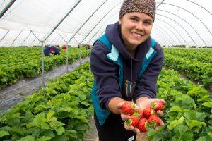 Wexford Strawberries, County Wexford, Ireland