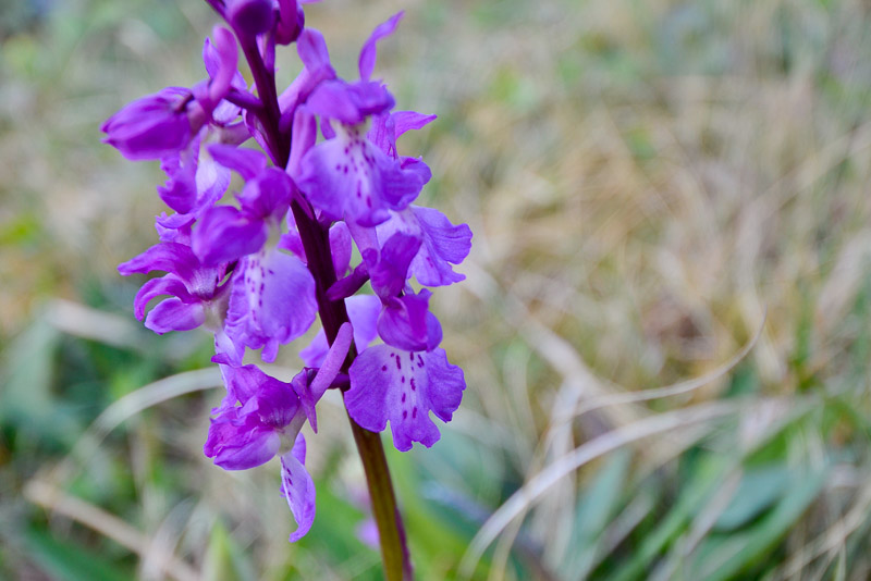 Early Purple Orchid, The Burren, County Clare, Ireland.