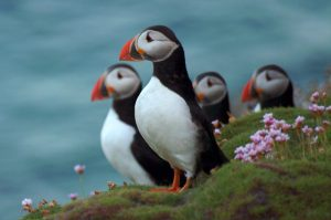 Puffins on the Saltee Islands, County Wexford, Ireland