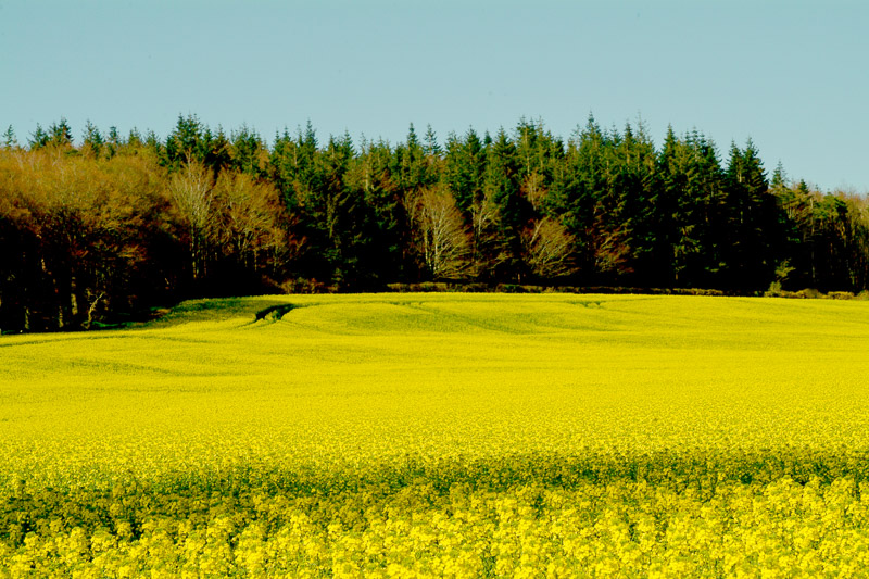 Rape Seed in bloom, County Wexford, Ireland