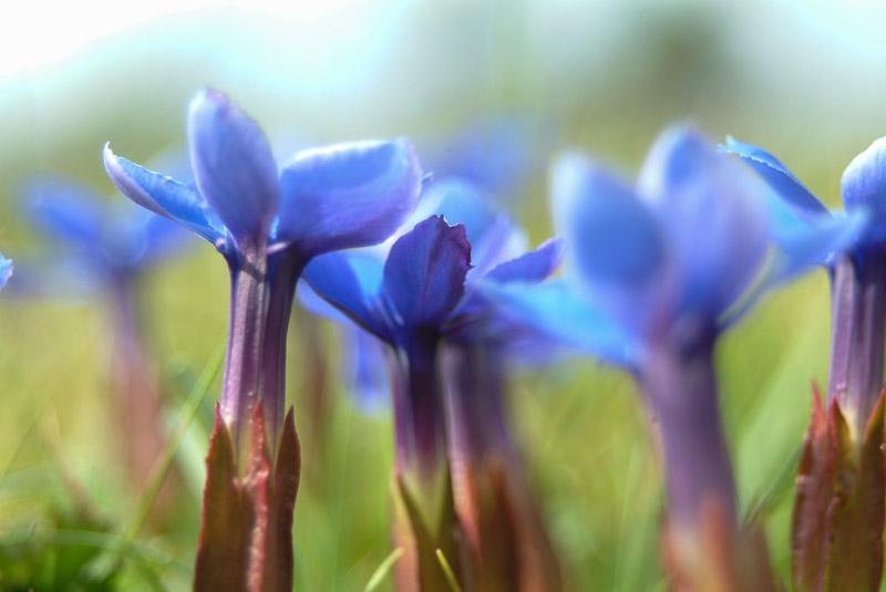 Spring Gentian, The Burren, County Clare, Ireland.