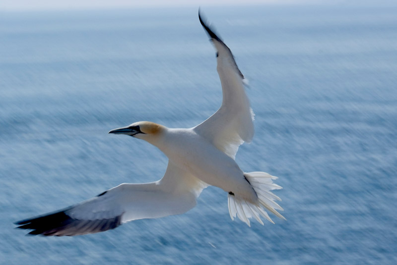 Gannet, Saltee Islands, County Wexford, Ireland