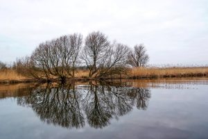 Willow Trees on Reed Beds at Killoran on the River Slaney, Co Wexford, Ireland