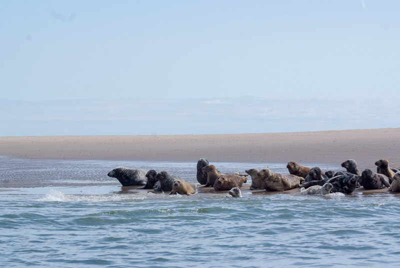 Common Seals in Wexford Harbour, County Wexford, Ireland