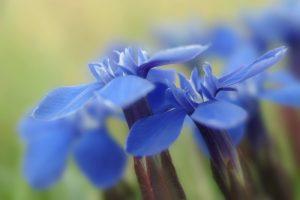 Spring Gentian, Burren National Park, Co Clare, Ireland