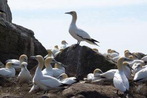 Gannets on Saltee Island off Kilmore Quay, County Wexford, Ireland. &copy Jphn Ironside