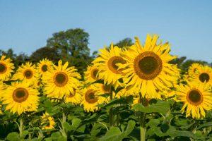 Sunflowers at Robin's Glen Organic Farm, Glenmore, County Kilkenny, Ireland.