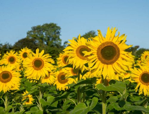 The Sunflower, folklore says they are a symbol of good luck.