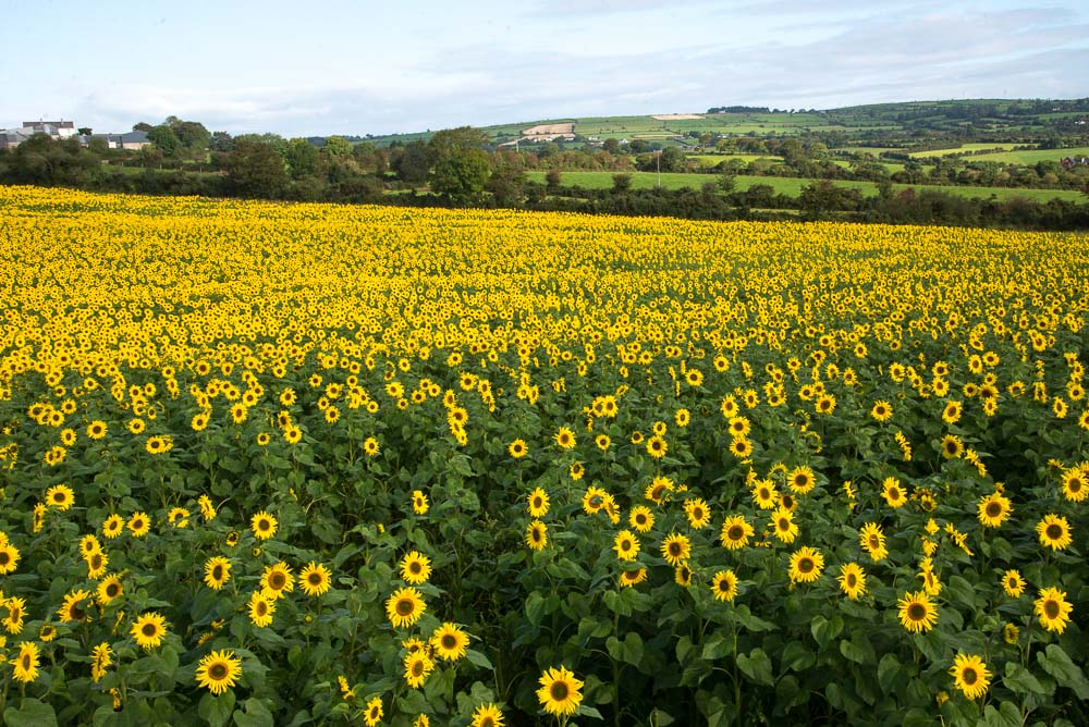Sunflowers at Robin's Glen Organic Farm, Glenmore, County Kilkenny, Ireland.