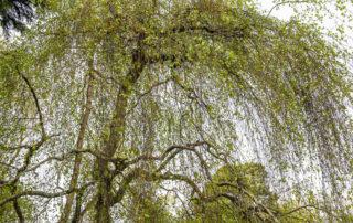Weeping Birch, Kilmokea House and Garden, Campile, County Wexford, Ireland