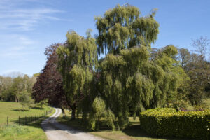 Weeping Larch, Woodville House and Gardens, New Ross, County Wexford, Ireland