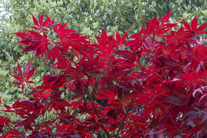 Spring colours, Glenavon Japanese Garden, Glen Richards, Courtown Harbour, Gorey, Co. Wexford, Ireland.