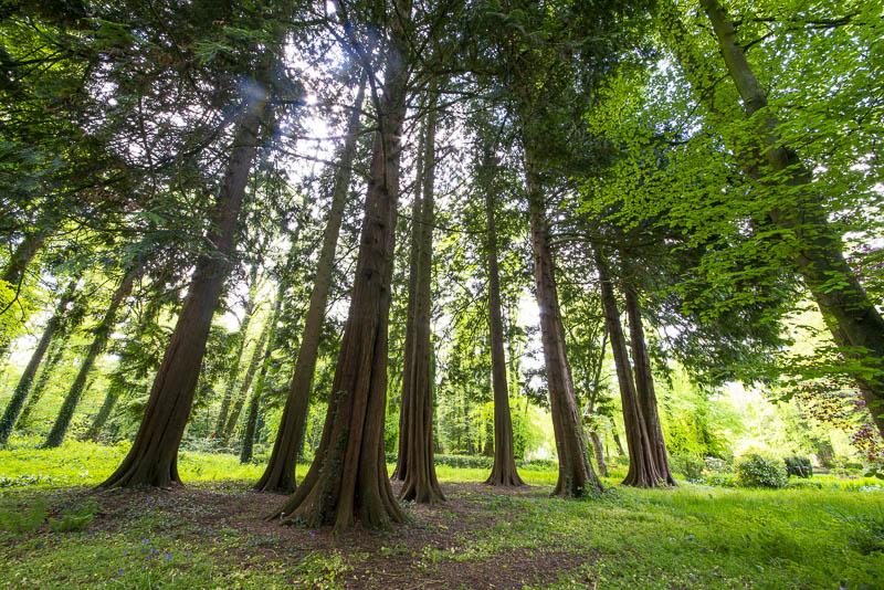 150 year old Druids Grove Western nRed Cedar and Japanese Cedar, Huntington Castle and Garden, Clonegal, County Carlow, Ireland.