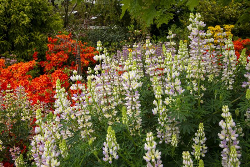 Lupin cross, Coolaught Garden and Garden Center, Clonroch, Enniscorthy, County Wexford, Ireland